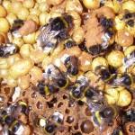 hnízdo čmeláka zemního