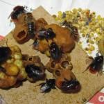 čmelák skalní se včelami